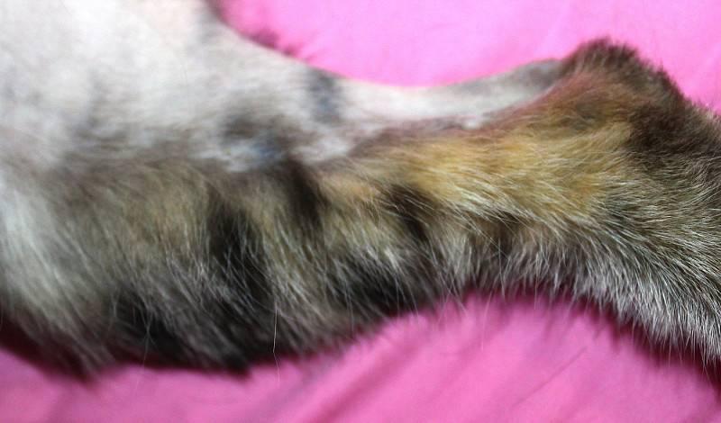 Облысение у кошек: причины, симптомы и лечение, профилактика