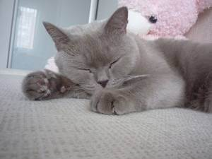 Правильное питание кошек и котов, рацион британского кота, рацион питания шотландских кошек, рацион беременной кошки | кошки - кто они?