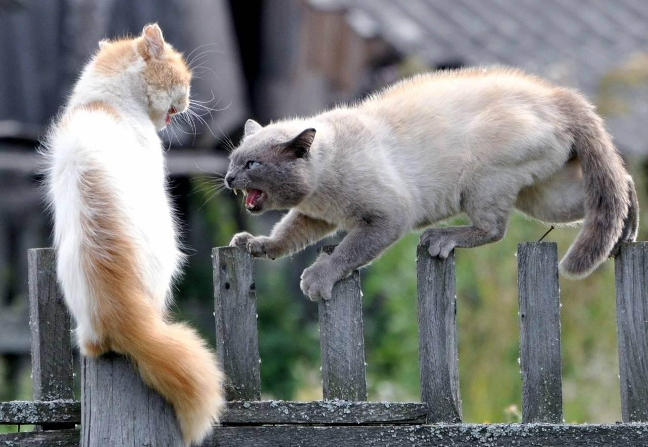 Как остановить агрессивную кошку