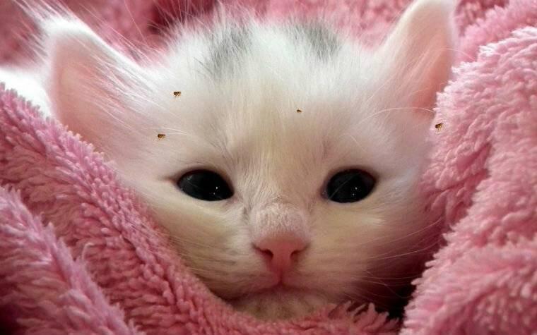 Как использовать полынь против блох у кошки