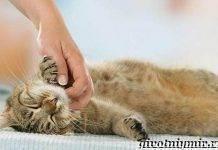 Скоттиш фолд: подробное описание породы, советы владельцев по уходу и характеру кошки (95 фото)