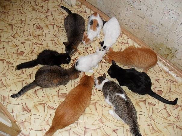 Кошка сколько гуляет дней: период течки в зависимости от условий