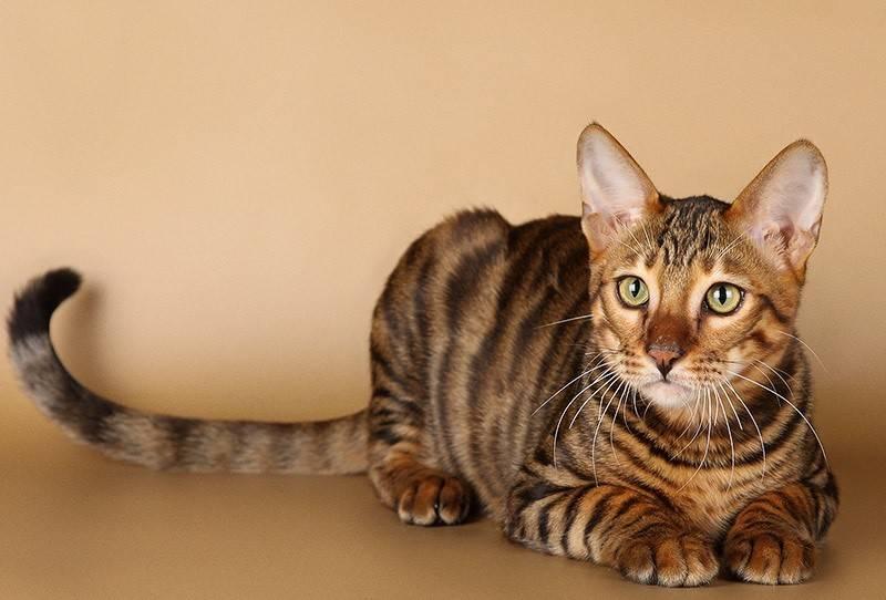 Сибирская кошка: описание породы, внешний вид и характер, содержание и кормление