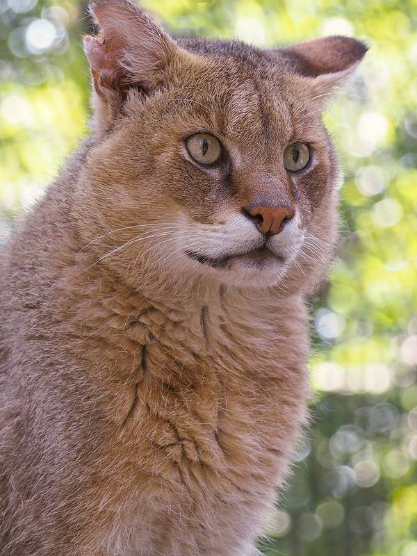 Камышовый кот где обитает в россии