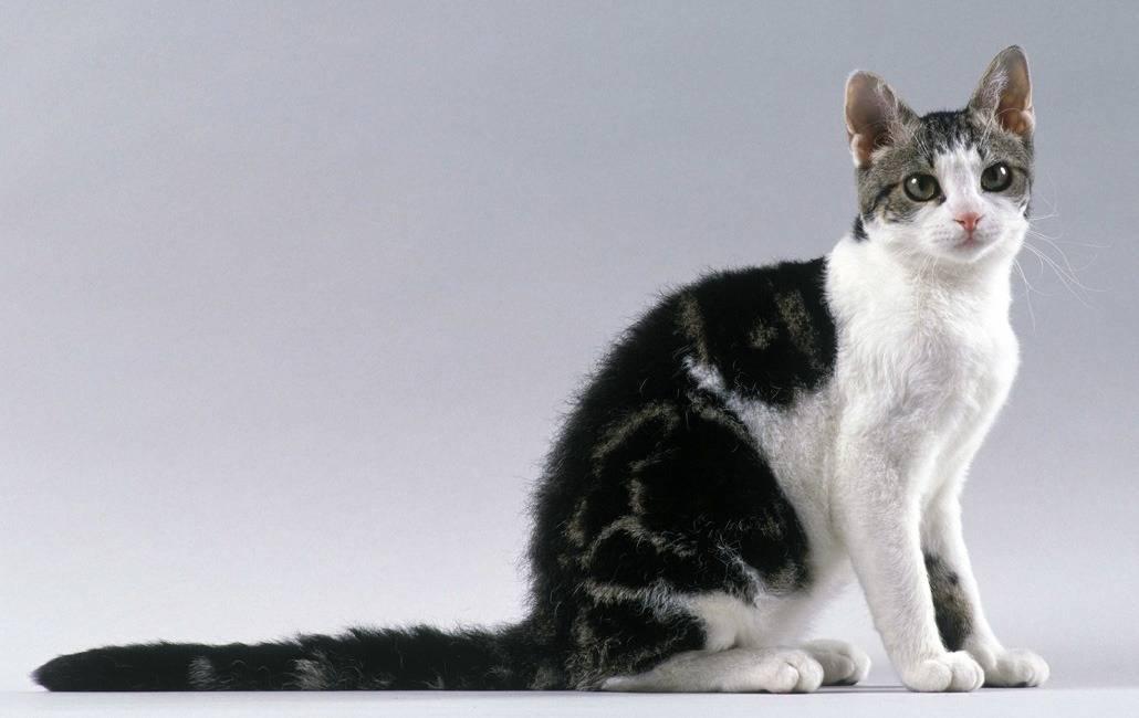 Чёрно-белый окрас кошек: стандарты и особенности, породы с описанием, фото котов