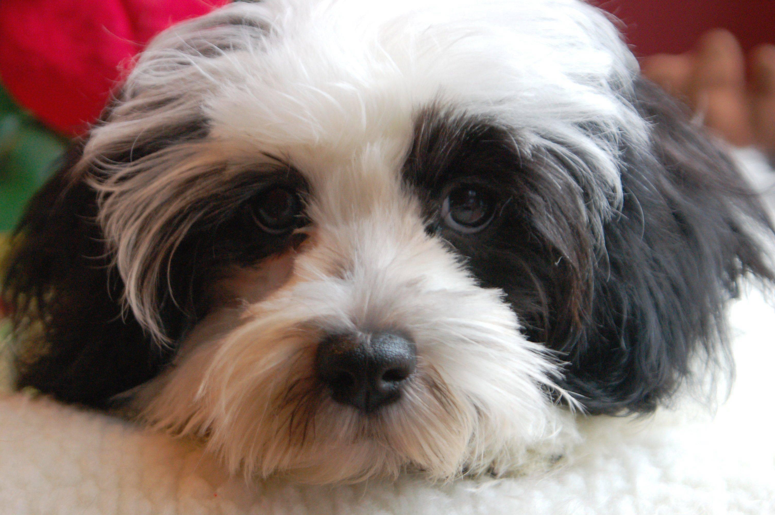 Гаванский бишон (хаванез, гаванская болонка) — описание породы собак