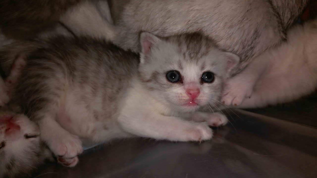 Когда котята различных пород открывают глаза после рождения, уход за глазами