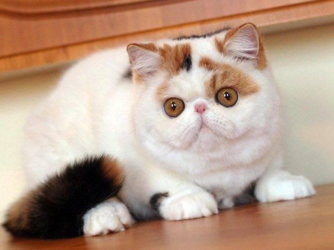 Кошки с приплюснутой мордой: как называется порода, с коротким носом