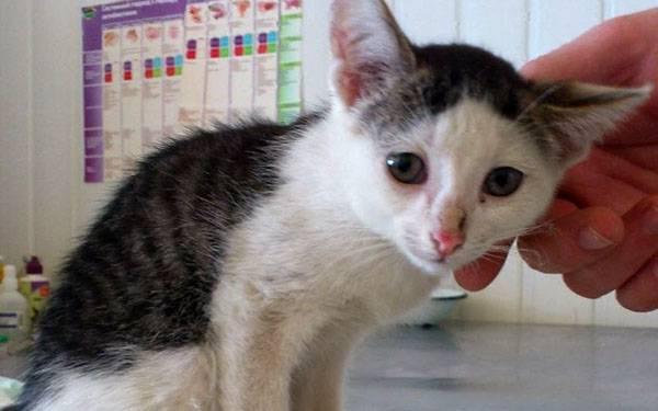Рвота у котенка: почему и что делать при тошноте