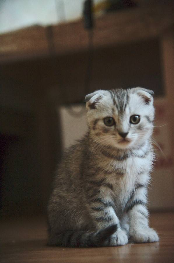 Как назвать кошку и кота шотландской вислоухой породы?