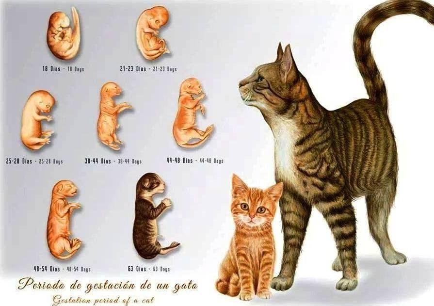 Этапы и важные показатели правильного развития котят по неделям