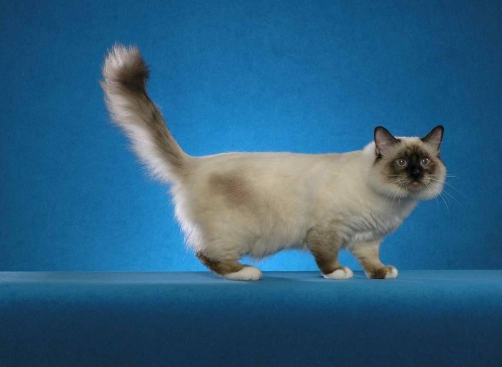 Бирманская кошка или священная бирма: особенности породы