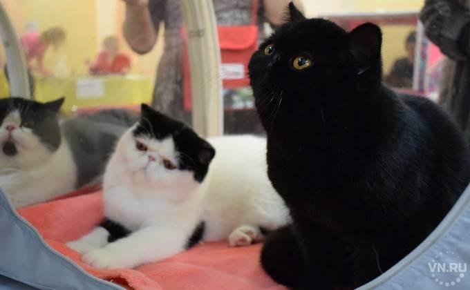 Плюшевая кошка (60 фото): британец кот, королевский, рыжий