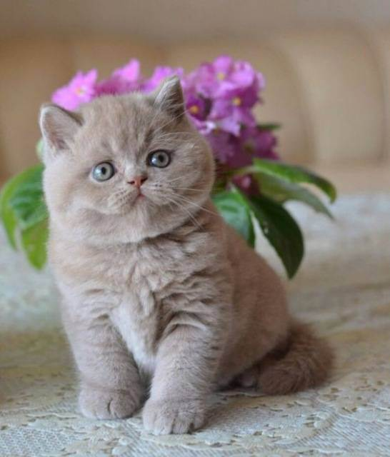 Проблемы разведения сложных окрасов британских кошек