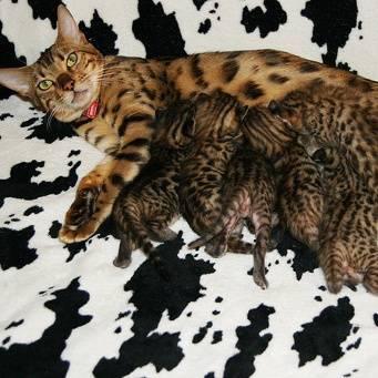 Секреты разведение кошек как бизнес в домашних условиях