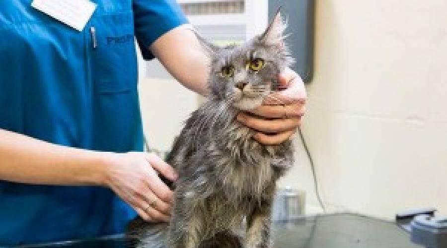 Жирная шерсть на хвосте у кота: причины и лечение | кот и кошка