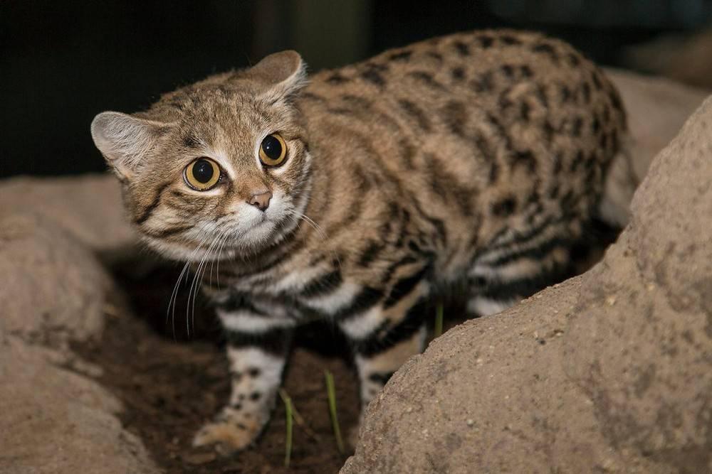 Чем опасны кошки и какие из них самые агрессивные? - hi-news.ru