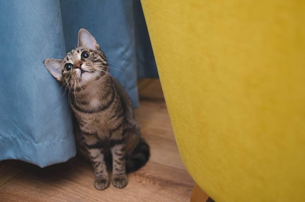 До какого роста вырастают экзоты кошки. до скольки лет растут коты