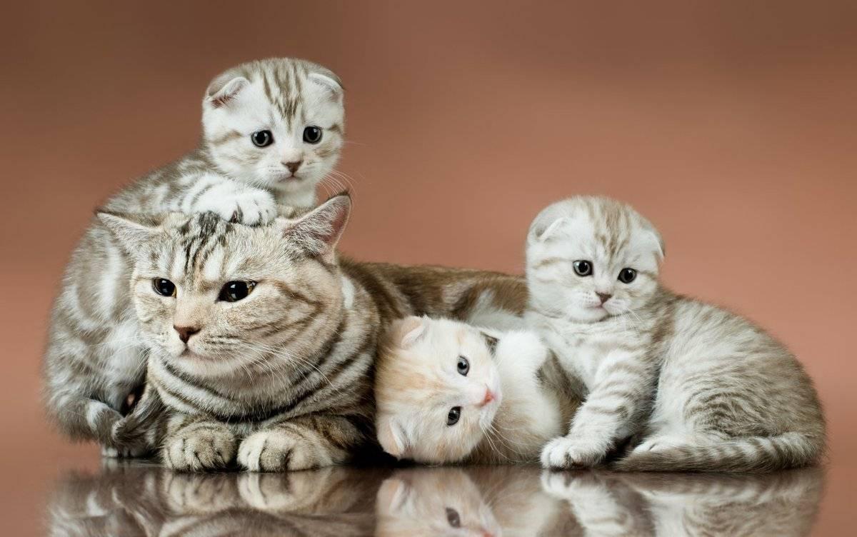 Уход за шотландским вислоухим котенком: воспитание, питание