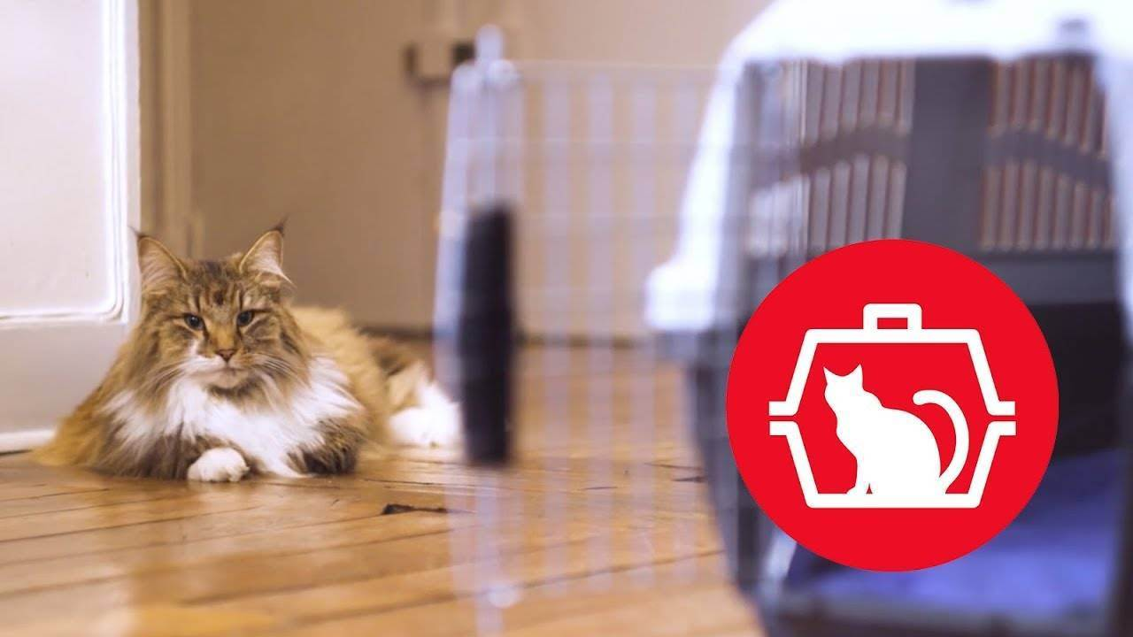 Возраст кошки по человеческим меркам — как определить правильно? таблицы соответствия и советы по уходу (105 фото)