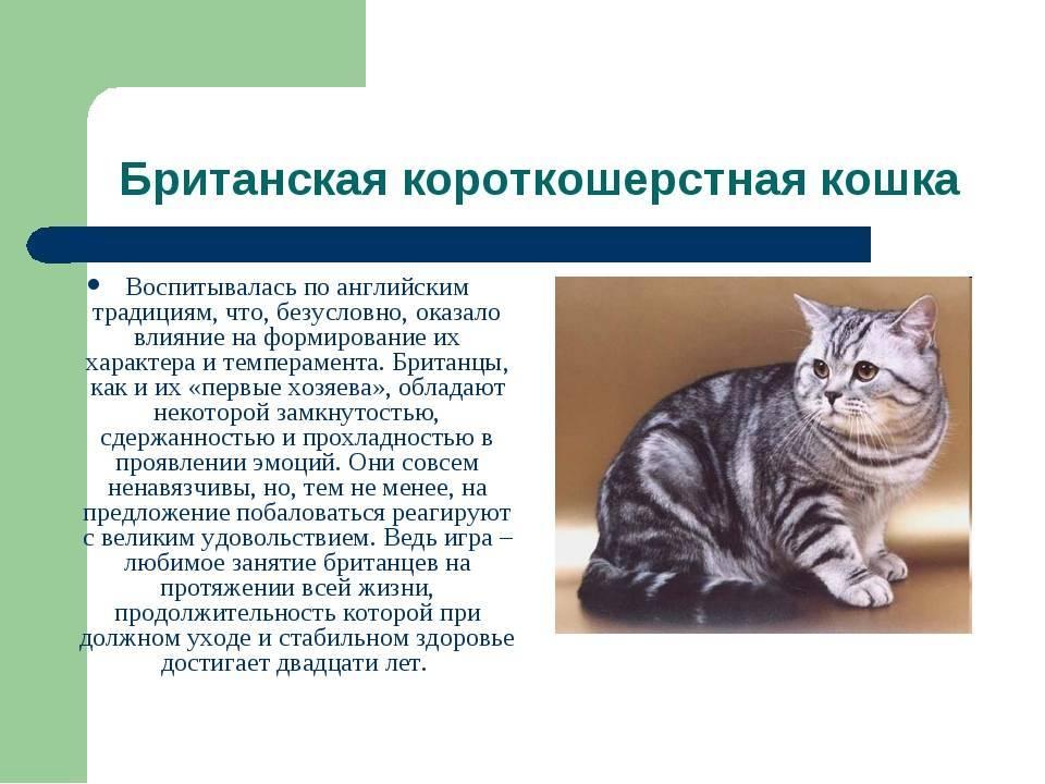 Тойгер - 81 фото уникальной кошки с настоящим тигровым окрасом
