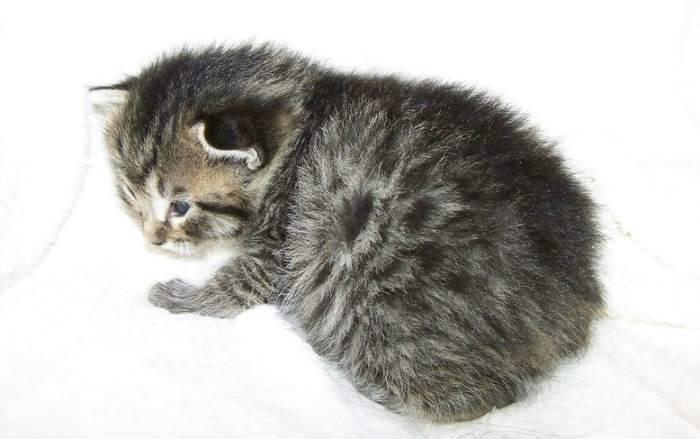 Кимрик: описание породы кошки, фото, характер, уход