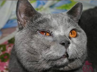 У кошки над глазами лысины