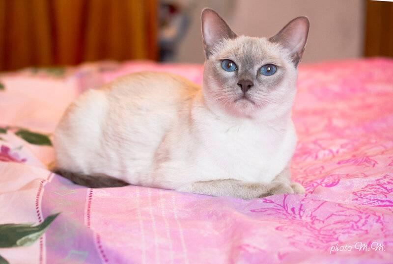 Тайская кошка: описание породы, внешнего вида и характера, уход и содержание, кормление