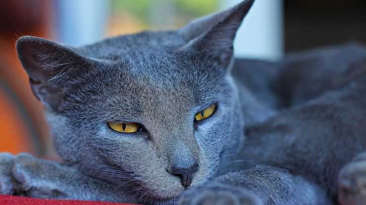 Шартрез (кошка): описание породы, характер, отзывы (с фото и видео)