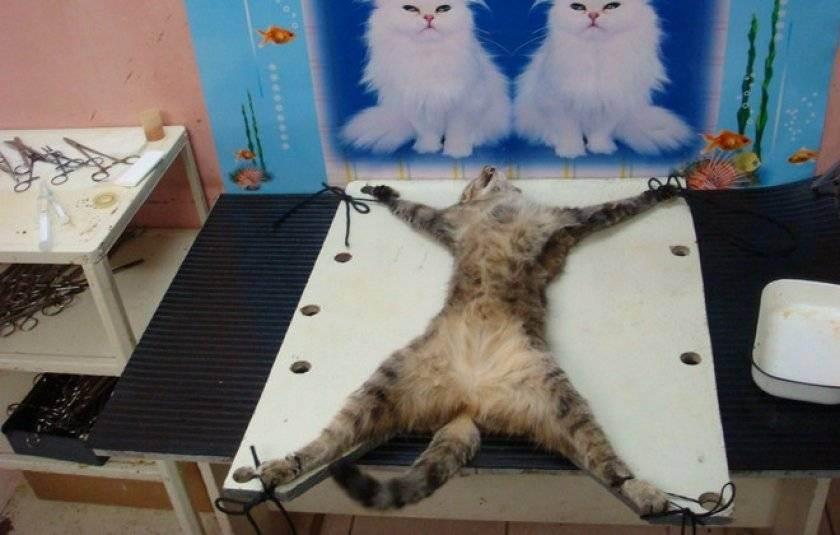 Какая необходима подготовка кошки к проведению общей анестезии?