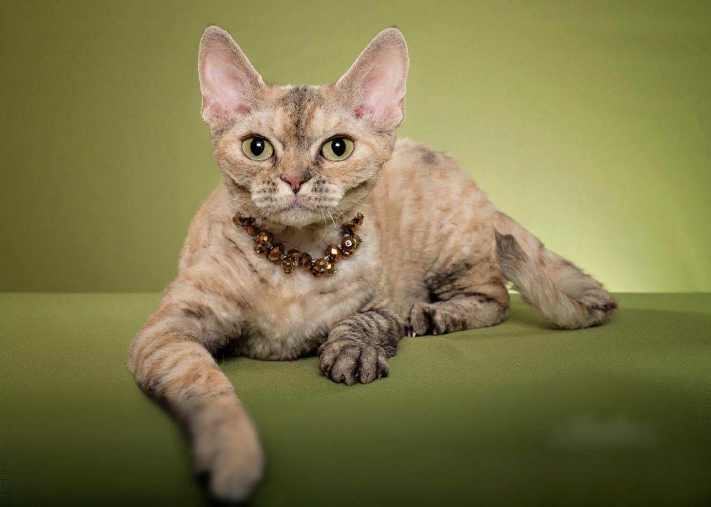 Девон-рекс: описание стандарта породы с фото, характер кошки, особенности ухода