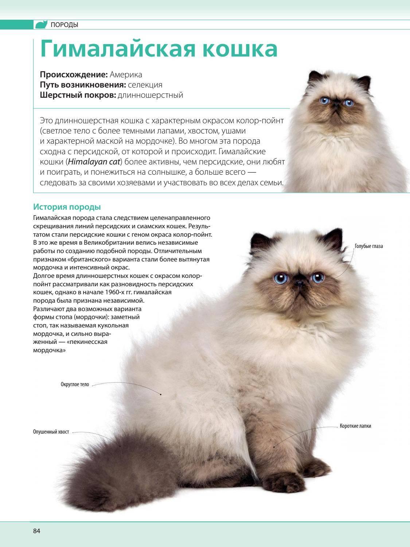 Тайская кошка — описание породы и характера, фото, отзывы