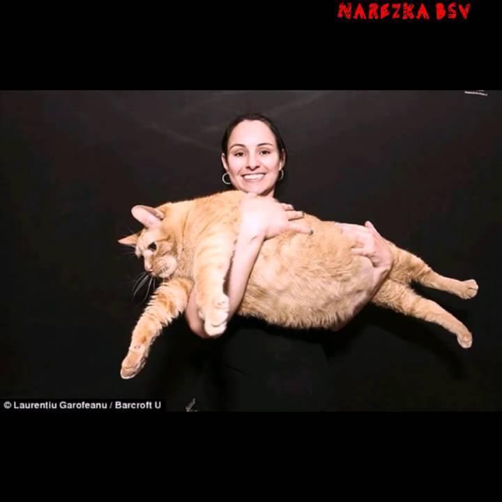 Кошки из книги рекордов гиннеса | caticat.ru