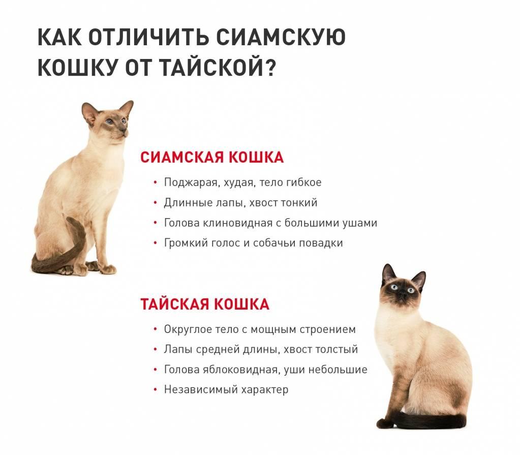 Тайская кошка. описание, особенности, уход и цена тайской кошки | животный мир
