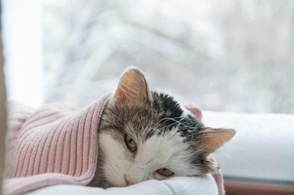 Как лечить кота от простуды?