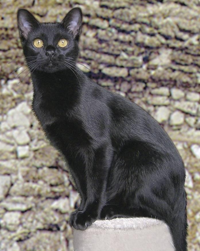 Бомбейская кошка: описание, история, содержание + правила ухода за кошкой (фото)