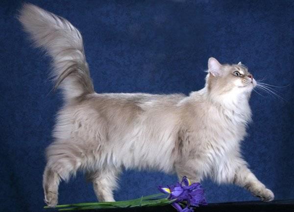 Длинношерстные породы кошек, их названия и фото, советы по уходу за ними