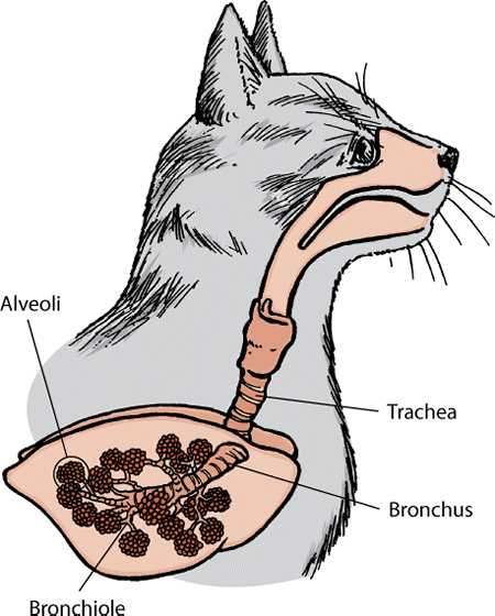 Пневмония у кошек заразна