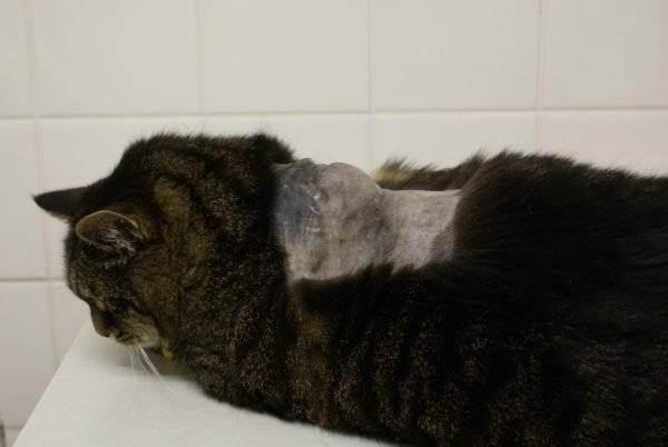 Осложнения после вакцинации кошек.