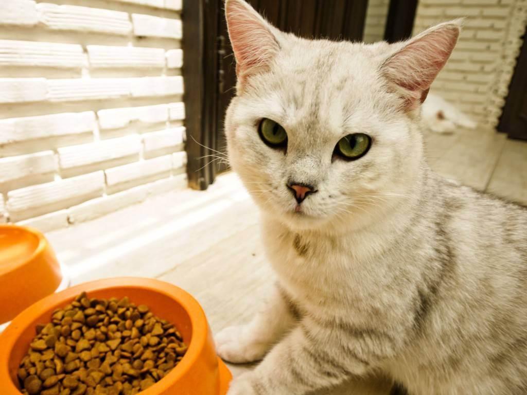 Кошка (кот) ничего не ест и не пьёт несколько дней: что делать, как помочь взрослому животному или котёнку