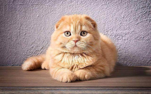 Кастрация шотландского прямоухого кота