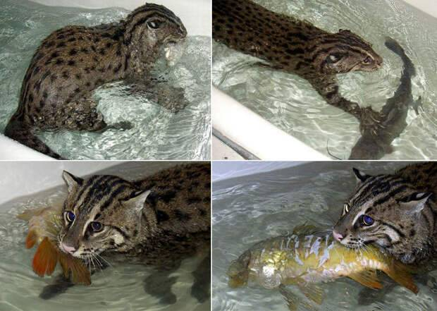 Кот-рыболов — характеристика породы и образ жизни