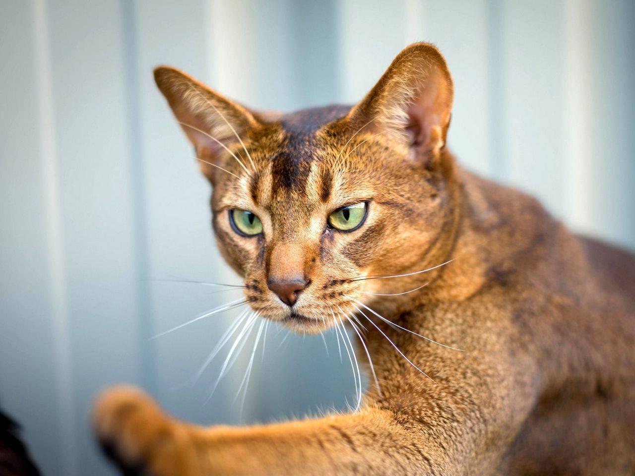 Абиссинская порода кошек - описание породы, характеристики, фото