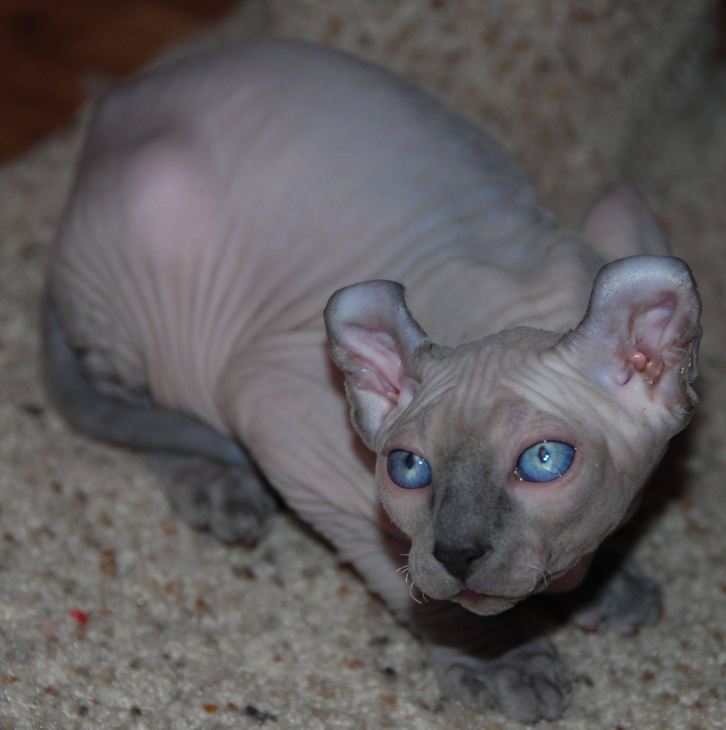 Порода кошек лысый эльф: описание, характер, уход, видео