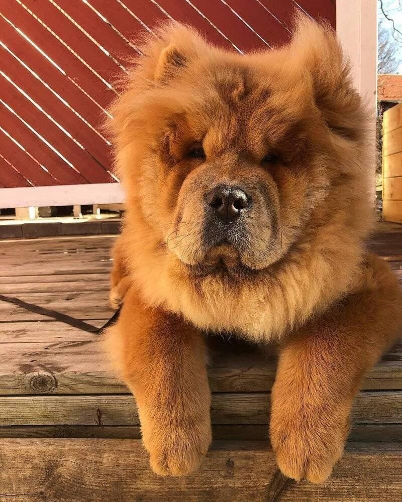 Собаки похожие на медведей маленькие. какие есть породы собак, похожих на медвежонка. как же сделать выбор - медицинская энциклопедия