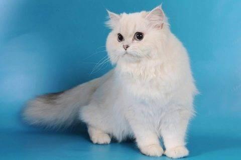 Британский длинношерстный кот – окрасы, характер, история