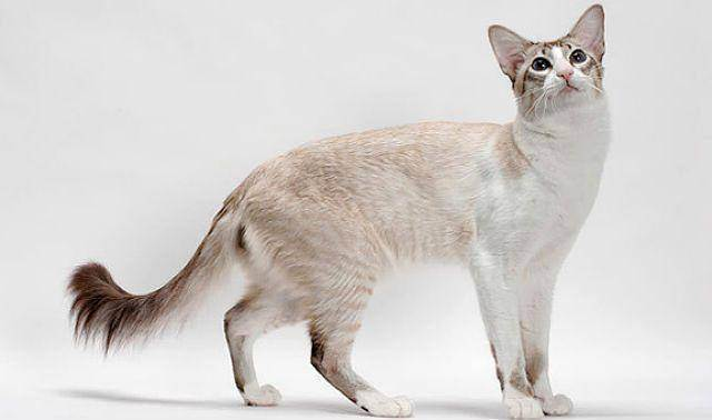 Турецкий ван: фото ванской кошки, цена котенка, описание внешнего вида и характера