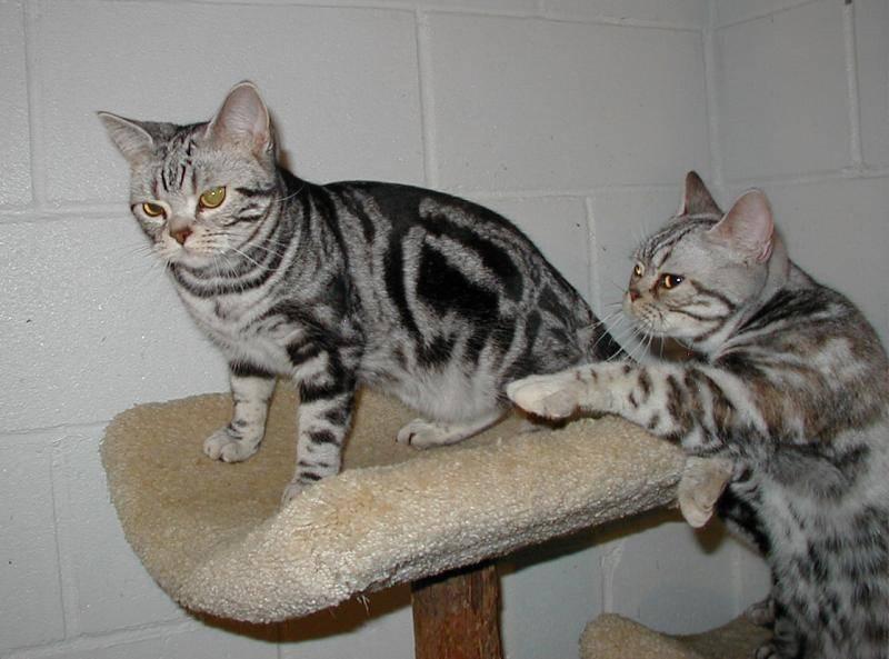 Породы мраморных кошек