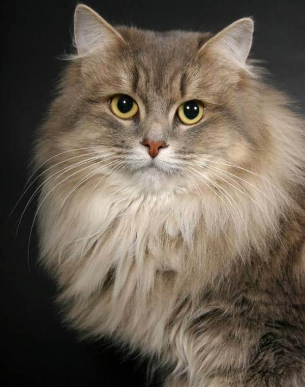 Самые большие породы кошек - топ-10 крупных пород