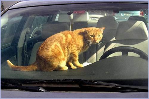 Как путешествовать с кошкой